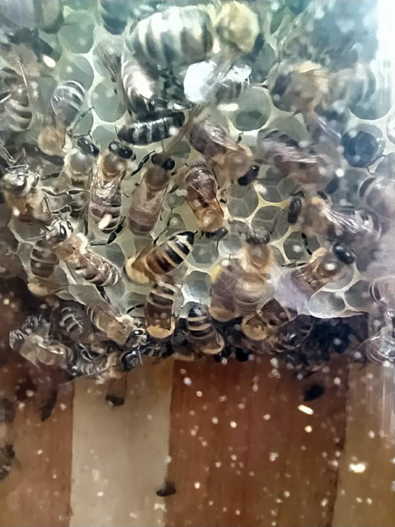 Blick auf die Bienenbeim Wabenbau