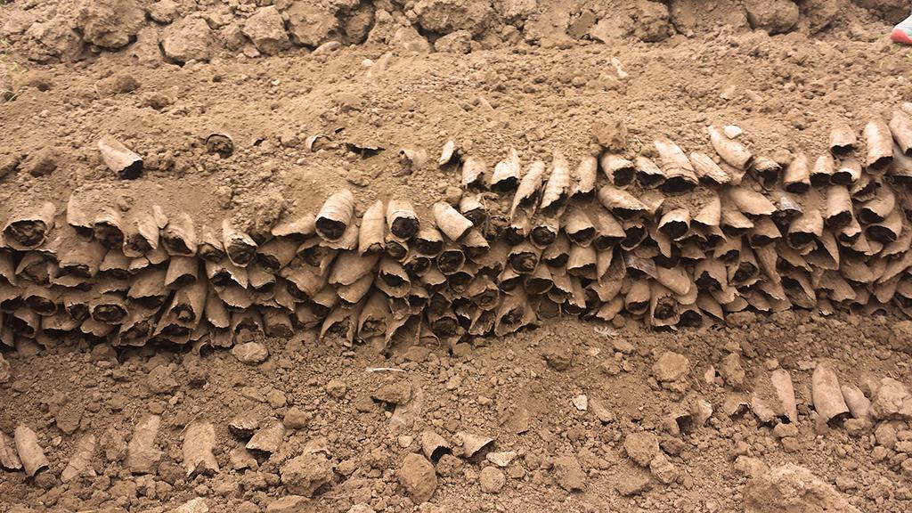 Kuhhörner gefüllt mit Kuhmist - Das Hornmist-Präparat 500