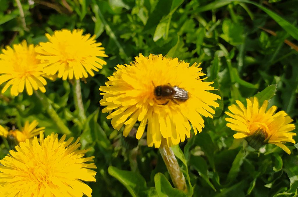 Honigbiene sitz auf einer Löwenzahnblüte und sammelt Nektar