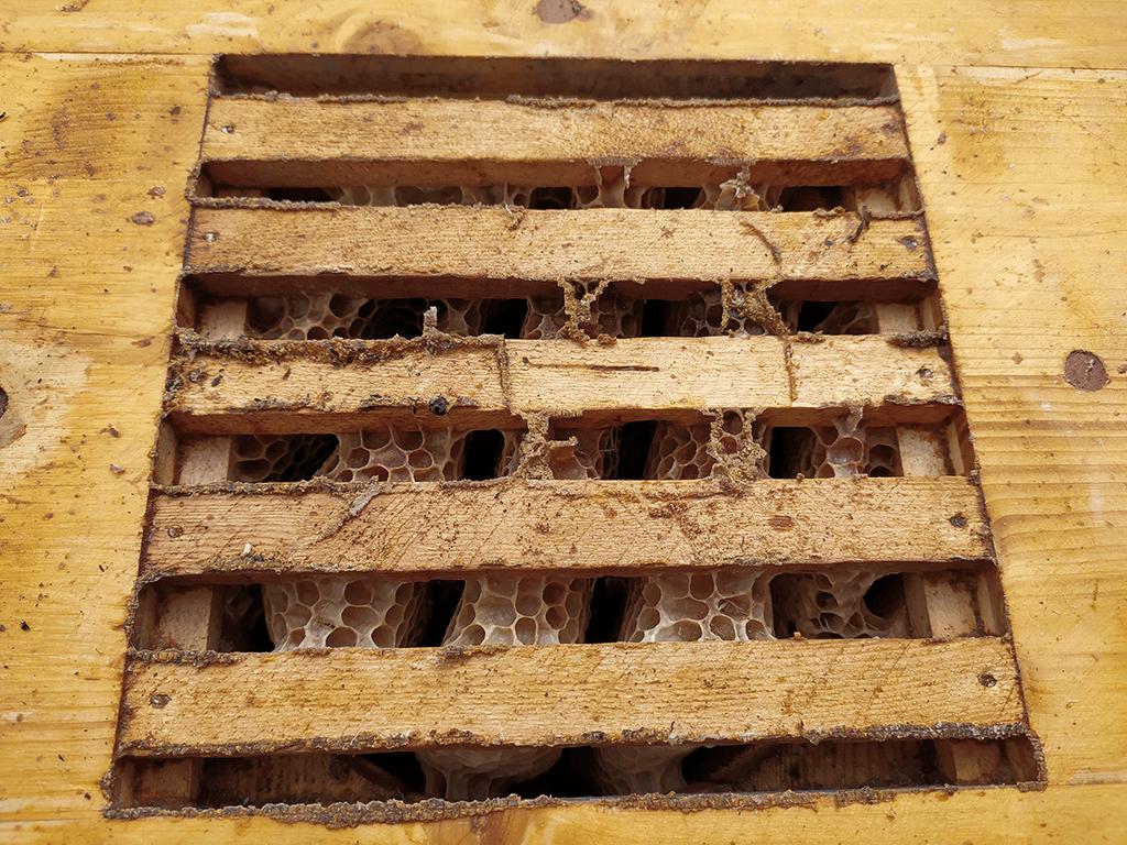 Bienen haben die Waben 90 ° verdreht zum Oberträger gebaut